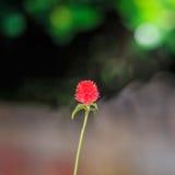 Flor do botão do licenciado Imagens de Stock