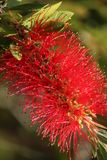 Flor do Bottlebrush Imagem de Stock