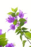Flor do Bougainvillea Fotos de Stock