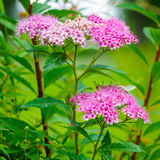 Flor do bumalda do Spiraea Imagem de Stock Royalty Free