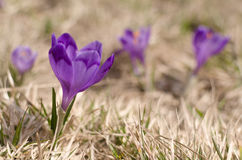 Flor do céu, açafrão, grama Foto de Stock