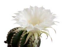 Flor do cacto fotografia de stock