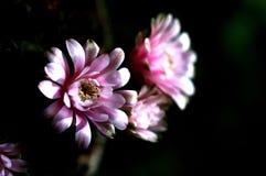 Flor do cacto Imagem de Stock Royalty Free
