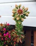Flor do cacto Foto de Stock