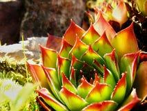 Flor do cacto Imagens de Stock Royalty Free