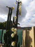 Flor do cacto foto de stock royalty free