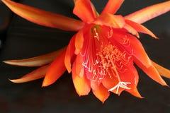 Flor do cacto da orquídea fotografia de stock royalty free