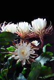 Flor do cacto de Epiphyllum fotos de stock royalty free