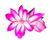 Flor do cacto de Natal Foto de Stock Royalty Free