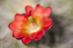 Flor do cacto de ouriço fotos de stock royalty free