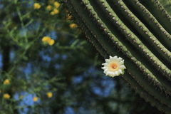 Flor do cacto de Sahuaro Fotos de Stock Royalty Free