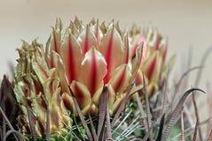 Flor do cacto de tambor imagem de stock