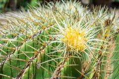 Flor do cacto de tambor dourado Imagens de Stock