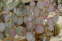 Flor do cacto do deserto ou flor selvagem dos cactos imagem de stock