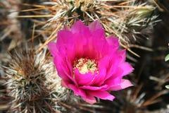 Flor do cacto do deserto imagem de stock