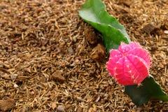 Flor do cacto do Gymnocalycium Foto de Stock