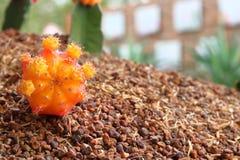 Flor do cacto do Gymnocalycium Foto de Stock Royalty Free