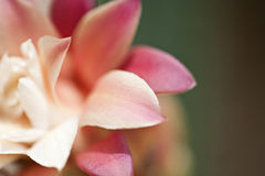 Flor do cacto na flor Fotografia de Stock