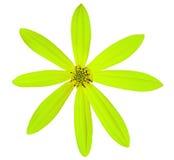 A flor do cal do jardim, branco isolou o fundo com trajeto de grampeamento Imagens de Stock