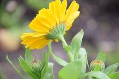 Flor do Calendula da parte traseira por Maria Rutkovska fotos de stock royalty free