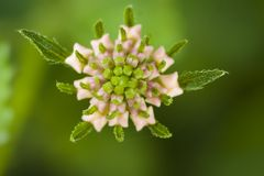 Flor do camara do Lantana em Turquia Imagens de Stock