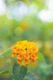 A flor do camara do Lantana no jardim Foto de Stock Royalty Free