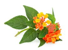 Flor do camara do Lantana com a folha isolada no branco imagens de stock royalty free