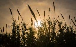 Flor do cana-de-açúcar Foto de Stock
