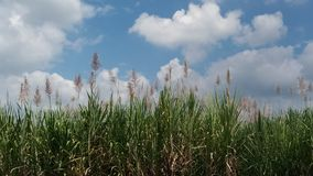 Flor do cana-de-açúcar fotos de stock royalty free
