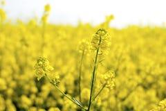 Flor do Canola Foto de Stock