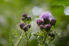 Flor do cardo Foto de Stock Royalty Free