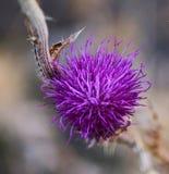 Flor do cardo em um ramo seco Imagens de Stock Royalty Free