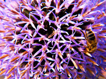 A flor do cardo seduz a abelha para Groming Fotos de Stock