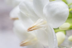 Flor do carpelo fotos de stock royalty free