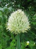 Flor do cebolas Imagem de Stock Royalty Free