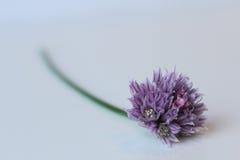Flor do cebolinha Foto de Stock