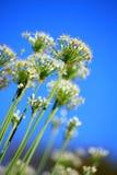 Flor do cebolinho Foto de Stock