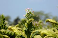 A flor do cigarro foto de stock