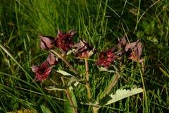 Flor do cinquefoil do pântano dos animais selvagens com gotas do orvalho na grama grossa do verão dos arbustos Imagens de Stock