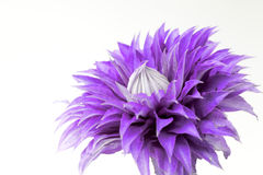 Flor do Clematis imagens de stock royalty free