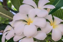 Flor do close up da flor branca do Plumeria Imagem de Stock