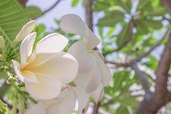 Flor do close up da flor branca do Plumeria Fotos de Stock Royalty Free