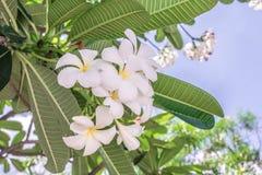 Flor do close up da flor branca do Plumeria Fotografia de Stock