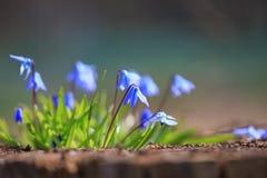 Flor do close up de Hepatica da planta imagem de stock