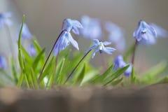 Flor do close up de Hepatica da planta fotos de stock