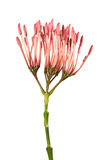 Flor do coccinea de Ixora, ixora cor-de-rosa isolada no fundo branco Fotografia de Stock