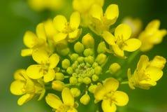 Flor do Cole Imagem de Stock