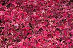 Flor do Coleus no outono Imagens de Stock Royalty Free
