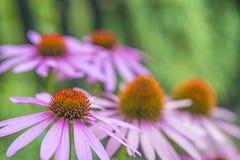 Flor do cone, purpurea do Echinacea Imagem de Stock
