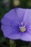 Flor do convólvulo Fotografia de Stock Royalty Free